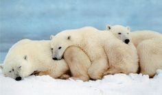 Polar Bears Sleeping Even polar bears need their beauty sleep after a day of playing and hunting. Cutest Polar Bears and Penguin Pics - Likes Polar Bear Wallpaper, Animal Wallpaper, Hd Wallpaper, 1920x1200 Wallpaper, Drawing Wallpaper, Fun Facts About Animals, Animal Facts, Baby Animals, Funny Animals
