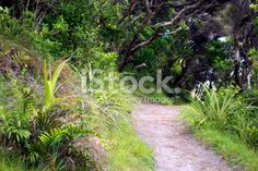 Footpath through Native New Zealand Bush Royalty Free Stock Photo Wooden Path, Photography For Sale, South Island, Image Now, Pathways, New Zealand, Nativity, Coastal, National Parks
