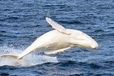 Biologia-Vida: Migaloo, a rara baleia branca / Migaloo, the rare white whale