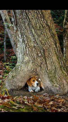 Hide and seek Beagle