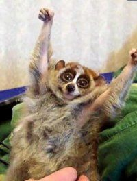pygmy slow loris...cutest animal ever. they actually move ...