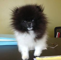 833 Best Pomeranian Crazy Images In 2016 Dogs