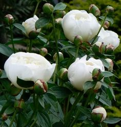 ~images duchesse de nemours peony - Google Search midseason, very fragrant