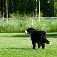 Dog urine can kill or severely burn your lawn.