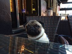 Waiting for supper #pug #pugs