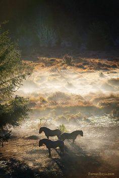 Friesian stallions.Equine horse pony equestrian caballo pferde equestrian stallion gelding mare foal