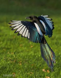Magpie by Richard Steel