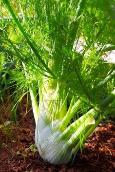 """Fenchel ist eine abwechslungsreiche Pflanze, die ihre Samen und Knollen für Küche und Naturmedizin anbietet. Entdecke, was Fenchel noch kann, außer als """"Stilltee"""" Müttern und Babies zu helfen."""