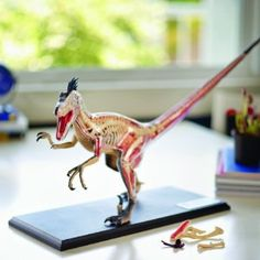 Velociraptor Anatomy Model $66.99