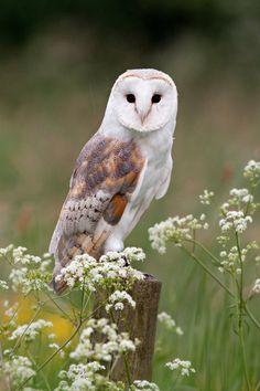 Barn Owl by *DaveOvenden