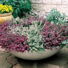 A low growing winter flowering heath that is a fantastic choice for ground cover. Supplied as module grown plants. Pretty Flowers, Winter Garden, Heather Plant, Winter Flowers, Winter Planter, Autumn Garden, Plants, Heather Gardens, Small Flowering Plants