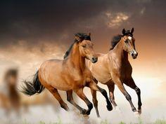 Des chevaux bai au galop