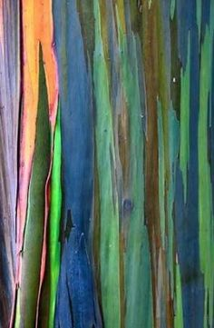 """Rainbow Eucalyptus Tree- Love this pic because it gives you a good sense of the """"peeling paint"""" effect that unveils these trees' vivid colors. Eucalyptus deglupta - aka the Rainbow Eucalyptus Tree. Patterns In Nature, Textures Patterns, Rainbow Eucalyptus Tree, Foto Poster, Tree Trunks, Tree Bark, Painting Inspiration, Bonsai, Still Life"""