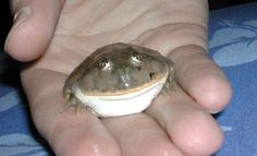 With a Budgett's Frog? Baby Animals, Funny Animals, Cute Animals, Smooch Kiss, Frog Pictures, Cute Frogs, Frog And Toad, Reptiles And Amphibians, Wholesome Memes