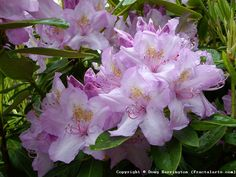 Some of my rhody's are now in full bloom in my garden, icluding this pink one.