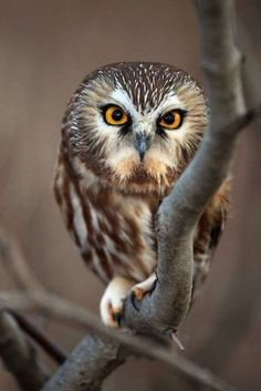 Northern Saw-whet owl (Strigidae). The northern saw-whet owl (Aegolius acadicus) is a small owl native to North America. Beautiful Owl, Animals Beautiful, Cute Animals, Gorgeous Eyes, Wild Animals, Baby Animals, Owl Photos, Owl Pictures, Saw Whet Owl
