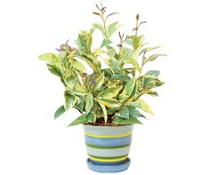 Mosquito Plant - Natural Insect Repellant- When you rub or crush the green and yellow leaves of the Mosquito Plant, it releases a citronella scent that acts as a powerful, natural insect repellant.