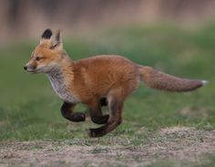 The Beauty of Wildlife Fox by Corey Hayes