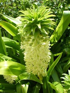 Pineapple Lily is the common names of the flowering plant that is scientifically known as Eucomis autumnalis. The name Eucomis comes from the Greek word' eukomos' and means 'beautifully haired', referring to the tuft of leaf-resembling bracts crowning the flowering head.   Isn't this Exciting? It actually looks like PINEAPPLE! ;)