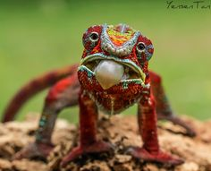 Hungry Face - Panther Chameleon | Yensen Tan