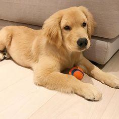 Ace ~ Golden Retriever Pup ~ Classic Look