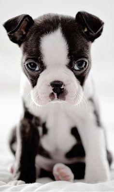 Boston Terrier puppy.