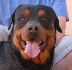 Buddha is a kind, cheery, baby-faced boy debuting for adoption today at Nevada SPCA (www.nevadaspca.org).  He is a Rottweiler, 3 years young, housetrained, and good with kids.  Buddha may be picky about other male dogs, but seems to bond well with female dogs.  He taps on the door when he wants to go outdoors and he thinks shoes are great toys to chew on.  Buddha was at another shelter that asked for our help.  Please visit and ask for him by name.