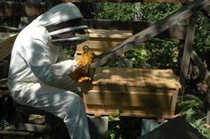 Harvesting Honey Combs from a Top Bar Hive