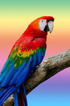Parrot Green winged Macall