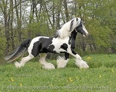 Royal, 1999 imported Gypsy Vanner Horse stallion