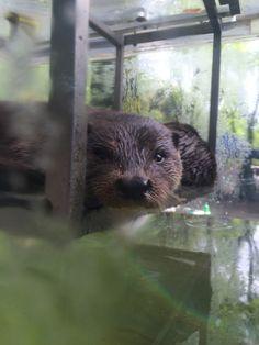 上野動物園のカワウソくん。カワウソと暮らしたいなぁ