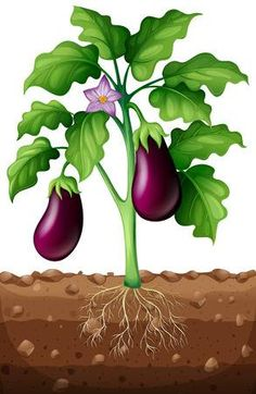 Eggplants on the tree illustration Drawing For Kids, Art For Kids, Kreative Jobs, Fruit Crafts, Preschool Garden, Garden Mural, Paper Flowers Craft, Plant Science, Parts Of A Plant