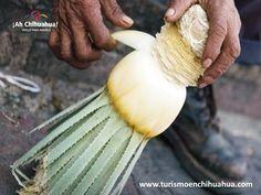 """En Chihuahua se produce una de las bebidas alcohólicas más antiguas y tradicionales, """"El Sotol"""" que además cuenta con denominación de origen. Se extrae del agave amarillo, del que se saca toda la pulpa de la penca se mezcla con  agua,  leche y jugo de limón. Después se guarda en un barril de baracho y se agrega el piloncillo, para dejarlo  fermentar por 8 meses enterrado en tierra roja. www.turismoenchihuahua.com"""
