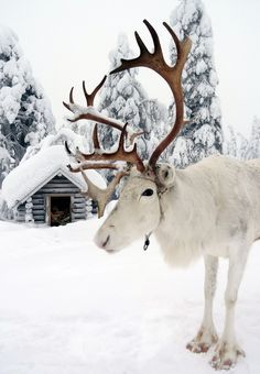 Un des rennes du Père Noël en Laponie en Finlande.