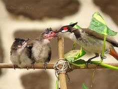 Red Whiskered Bulbul Feeding its Chicks!