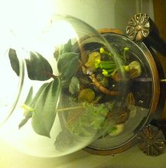 """Finished terrarium!  Plants included: Black Jewel Orchid, Yellow Pitcher Plant (isolated in its own pot--likes un-fertilized soil), """"Bushy"""" Peperomia, and a miniature Burgundy Ficus (also isolated in its own pot--an attempt to contain its growth).  The plants were potted in 4 layers (bottom to top): polished river stones, dried spagnuhm moss (moistened before placing), charcoal fragments, and regular potting soil mixed with charcoal (also moistened before placing)."""