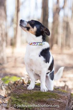 Georgia Jack Russell Rescue, Adoption and Sanctuary | Jake