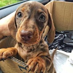 Find Out More On The Playfull Dachshund Puppies Temperament Dachshund Funny, Dachshund Puppies, Dachshund Love, Cute Dogs And Puppies, I Love Dogs, Dachshund Clothes, Dachshund Gifts, Dapple Dachshund, Chihuahua Dogs