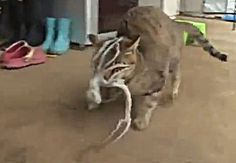 Is This a Cthulhu?  Cat Versus Octopus!  The Crazy Animal Video of the Day!!!  ... from PetsLady.com ... The FUN site for Animal Lovers