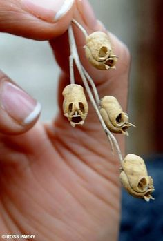 Skull seed pods from the Aquilegia plant. The gruesome discovery: The seed pods of the Aquilegia plant look like small but perfectly formed skulls. The common name for Aquilegia is colombine. Unusual Flowers, Unusual Plants, Beautiful Flowers, Weird Plants, Strange Flowers, Antirrhinum, Bizarre, Seed Pods, Weird And Wonderful