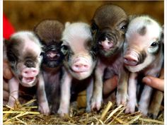 Julianna Mini Piglets..