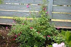 「チェリーセージ パープル庭」の画像検索結果