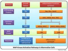 MAP Kinase Activation Pathways in Mammalian Cells