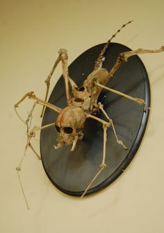 spider skeleton: creepy taxidermy art, spider monkey articulated mount. $3,000.00, via Etsy.