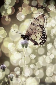 farfalla ...