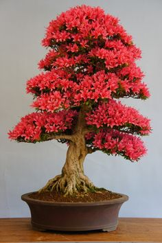 Amazing Bonsai Indoor Trees Ideas For Indoor Decorations 32 Flowering Bonsai Tree, Bonsai Tree Care, Bonsai Tree Types, Bonsai Trees, Bougainvillea Bonsai, Plantas Bonsai, Indoor Bonsai Tree, Indoor Trees, Ikebana