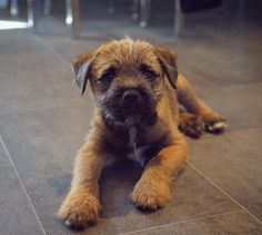 Puppy Errol ... and look at those paws! I've recently discovered a whole load of shots of him as a puppy on my mac. I had completely forgot about them . So I might be participating in #throwbackthursday for a few weeks . #borderterrier #millie_and_errol