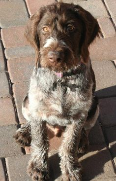 Max the German Wirehaired Pointer Pictures (met my daily dose of doggy goodness right here!)