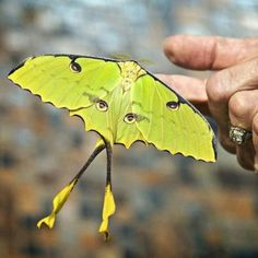 Moth looks like a ballet dancer