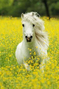 White Arabian in field of yellow flowers